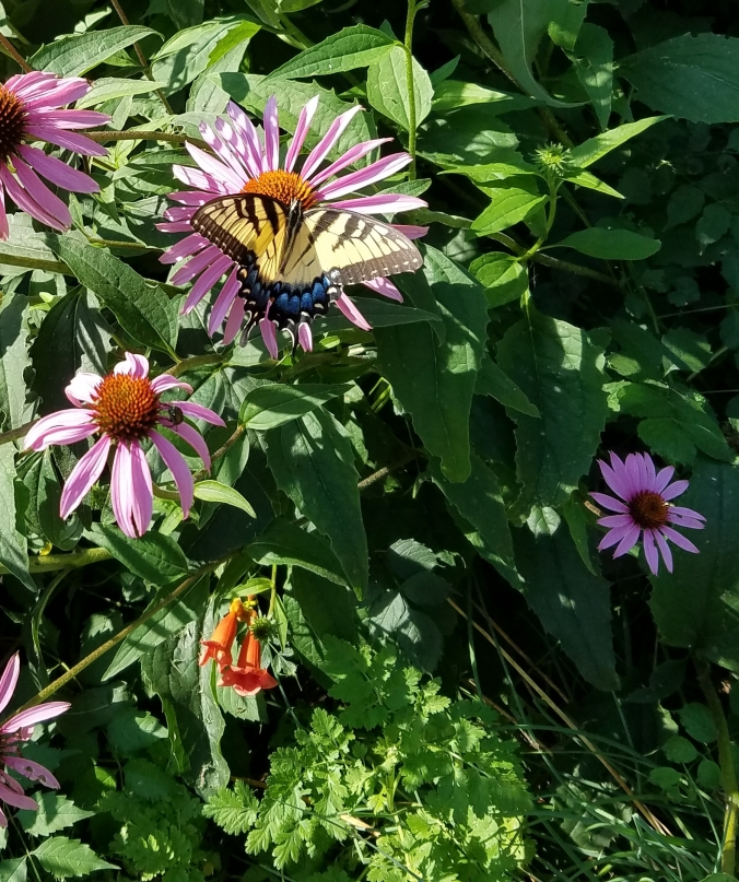 cone flower with butterfly