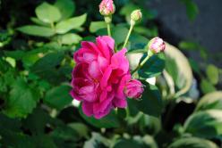 hosta Roses blooming June 2014